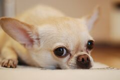 Chihuahua Lying on White Textile Stock Images
