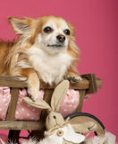 Chihuahua lying in wooden dog bed wagon