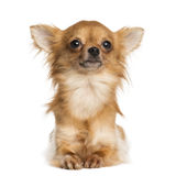 Chihuahua lying, 1 year old Royalty Free Stock Images