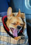 Chihuahua ma sen, zakończenie Zdjęcia Royalty Free