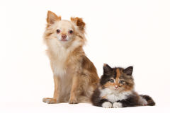 Chihuahua with Maine Coon kitten. Isolated on white Royalty Free Stock Photography