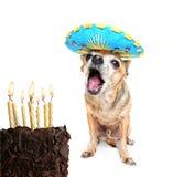 Chihuahua med födelsedagcaken och en deltagarehatt arkivbild