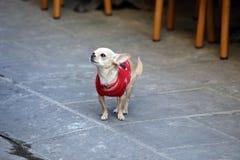Chihuahua med ulltröjan royaltyfria bilder