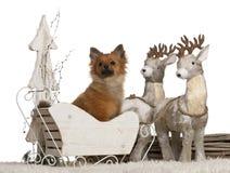 Chihuahua, 10 meses, perrito alemán del perro de Pomerania, 5 meses fotografía de archivo