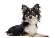 Chihuahua (11 meses velho) Fotografia de Stock Royalty Free