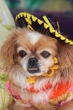 Chihuahua met een Sombrero Stock Fotografie