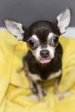 Chihuahua met geplakte uit tong Stock Fotografie