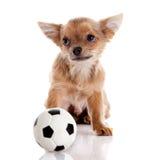 Chihuahua, 5 miesięcy starych. chihuahua pies odizolowywający na białym backgr Obrazy Royalty Free