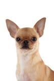 Chihuahua, 7 miesięcy starych, na białym tle Zdjęcia Stock