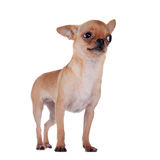 Chihuahua, 7 miesięcy starych, na białym tle Fotografia Stock