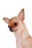 Chihuahua, 7 miesięcy starych, na białym tle Obraz Royalty Free
