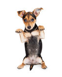 Chihuahua Mieszający traken Trzy miesięcy szczeniaka Stary Błagać Obraz Royalty Free