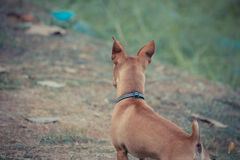 Chihuahua mini brown dog Stock Photos