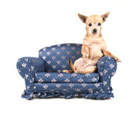 A chihuahua on a miniature couch Royalty Free Stock Photos