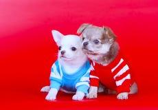 Chihuahua minuscola due in vestiti Ritratto di piccolo cane Fotografia Stock