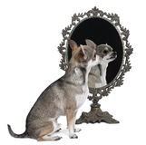 Chihuahua with mirror sittin Stock Photo