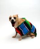 Chihuahua mit einem Serape Lizenzfreies Stockbild