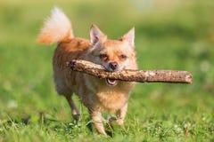Chihuahua mit einem Stock in der Schnauze stockfoto