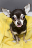 Chihuahua mit festem lecken heraus auf Stockfotografie