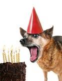 Chihuahua mit Geburtstagkuchen und einem Partyhut Stockbilder
