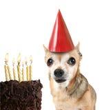 Chihuahua mit Geburtstagkuchen und einem Partyhut Lizenzfreie Stockbilder