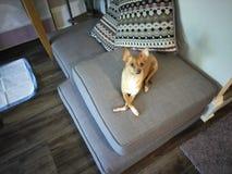 Chihuahua mit ihren Beinen kreuzten stockfoto