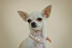 Chihuahua mit Perlen Stockfoto