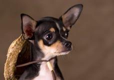 Chihuahua mit Strohhut stockbilder