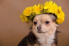 Chihuahua mit Wreath des Löwenzahns stockfotos