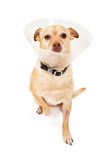 Chihuahua Mix Dog With Cone Stock Image