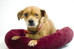 Chihuahua mix dog missing one eye, animal shelter adoption photography. Tan female Chiweenie Dachshund Chihuahua mixed breed dog laying on red dog bed, white royalty free stock photography