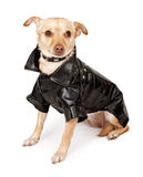 Chihuahua Mix Dog Wearing Black Leather Jacket Royalty Free Stock Images