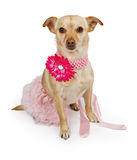 Chihuahua mix dog wearing tutu Royalty Free Stock Images