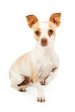 Chihuahua Mix Leg Up Royalty Free Stock Images