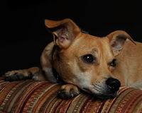 Chihuahua Mix Stock Photo