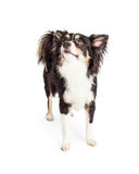 Chihuahua Mixed Breed Dog Looking Up Stock Photography