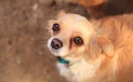 Chihuahua mixed breed dog Royalty Free Stock Photography