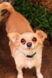 Chihuahua mixed breed dog Royalty Free Stock Images