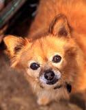 Chihuahua mixed breed dog Stock Image