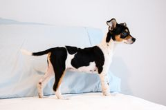 Chihuahua mixed breed puppy of three months old royalty free stock photo