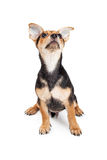 Chihuahua Mixed Breed Three Month Old Puppy Looking At Sky. Chihuahua Mixed Breed Three Month Old Puppy sitting while looking up at the sky Royalty Free Stock Image
