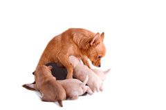Chihuahua mom is suckling her puppies. On white Royalty Free Stock Images
