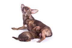 Chihuahua mom is suckling her puppy. On white Royalty Free Stock Images