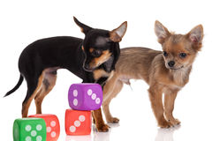 Chihuahua , 5 months old. chihuahua dog with  dice isolated on w Royalty Free Stock Images