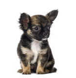 Chihuahua (7 months old) Royalty Free Stock Images