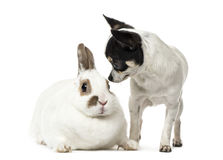 Chihuahua, 8 months old, and a rabbit, isolated. On white Stock Image