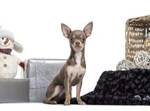 Chihuahua, 6 months old, sitting in front of white background. Isolated on white royalty free stock images