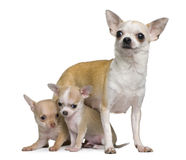 Chihuahua mother and her 2 puppies, 8 weeks old. In front of white background Royalty Free Stock Photo