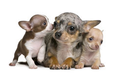 Chihuahua mother and her 2 puppies, 8 weeks old. In front of white background Royalty Free Stock Images