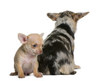 Chihuahua mother and her puppy, 8 weeks old. In front of white background Royalty Free Stock Image
